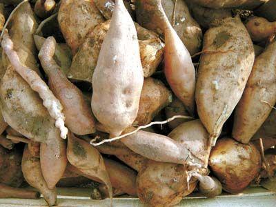 Garcinia cambogia rush
